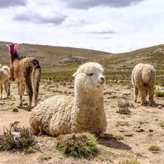 alpaca lying in the dirt