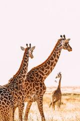 Giraffen safari künsterlische Afrika Tansania