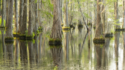 Smooth Water Reflects Cypress Trees in Swamp Marsh Lake