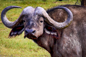 Close up of a water buffalo with large horns in Queen Elizabeth National Park in Uganda, East Africa