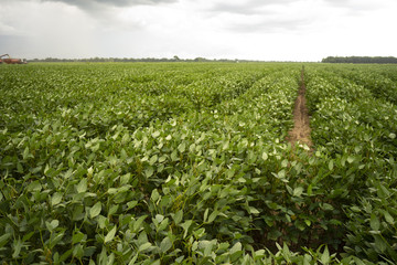 Soy Beans Grow Big and Lush in the Deep South USA