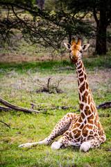 A giraffe sits under a tree in Lake Nakuru National Park in Kenya, East Africa