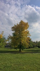 lonely tree, lonely tree in a city park, autumn landscape, yellowed leaves, early autumn