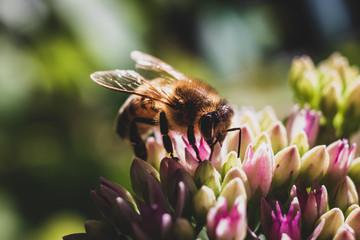 Honey Bee close up pollinating a vivid purple flower 1