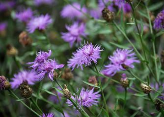 Blossom cornflower with purple image of flowers