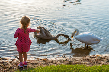 Beautiful little girl feeding swans