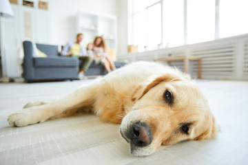 Tired purebred golden retriever lying on the floor of living-room with relaxed family on background