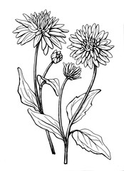 Flower of garden plant rudbeckia laciniata (also known as cutleaf coneflower, green-headed, susan). Black and white outline illustration hand drawn work isolated on white background.