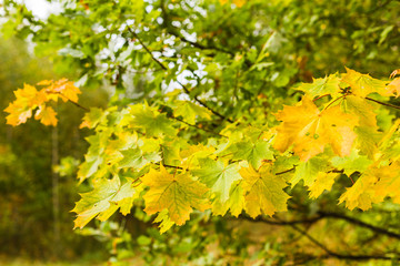 Autumn background with yellow maple leaves in the forest. Selective focus