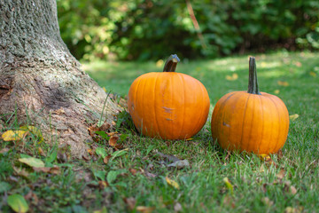 Pumpkins on Green Grass and Leaves Next to a Tree