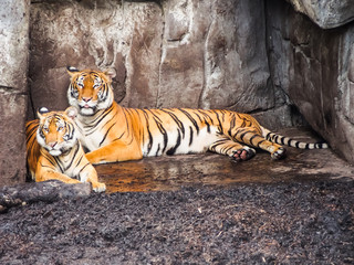 Tiger and Cub lying in Cave