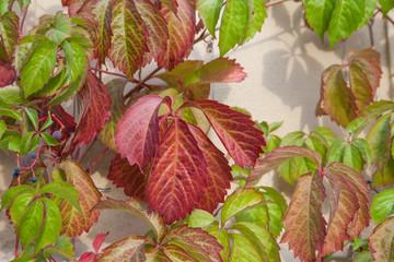 Wilder Wein, Parthenocissus quinquefolia