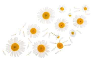 chamomile or daisies isolated on white background with copy space for your text. Top view. Flat lay
