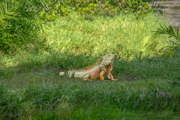 A mature iguana walks across the grass area with head held high.