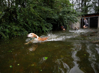 Panicked dogs that were left caged by an owner who fled rising flood waters in the aftermath of Hurricane Florence, swim free after their release in Leland, North Carolina