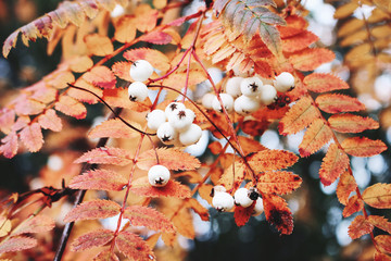 Closeup of autumn red colored leaves and white berries of Chinese rowan tree, Sorbus koehneana in nature. Selective focus.