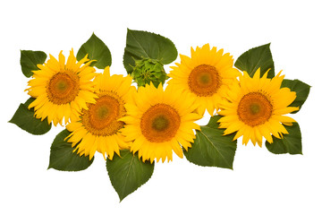 Flower arrangement sunflower bouquet with leaves open and closed isolated on white background. Agriculture, farmer. Beautiful still life floral. Seeds and oil. Flat lay, top view