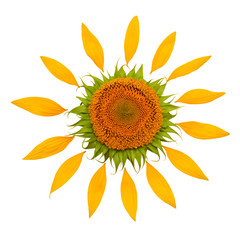 Creative idea of the sun from a sunflower and petals. Yellow flower and core. Flat lay, top view