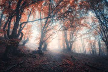 Wall Murals Forest Beautiful fairy forest in fog in autumn. Colorful landscape with enchanted trees with orange and red leaves on the branches. Scenery with path in dreamy foggy forest. Fall colors in october. Nature