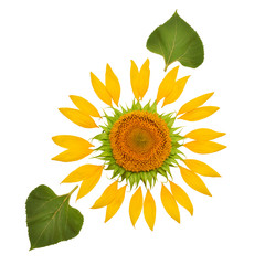Creative idea of the sun from a sunflower and petals with leaf. Yellow flower and core. Flat lay, top view