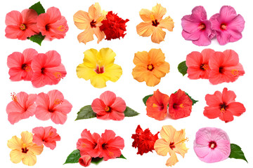 Fototapete - Collection of colored hibiscus flowers with leaves isolated on white background.