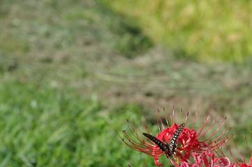 ヒガンバナとアゲハチョウ
