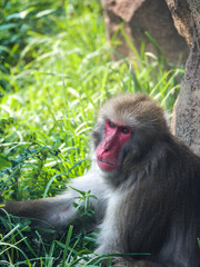 Close up photograph of a Japanese macaque or snow monkey as it sits in the lush green grass on a hot summer day to cool off.