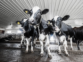A group of black and white Holstein dairy cows in a cattle shed stand looking into the camera with wide angle view.