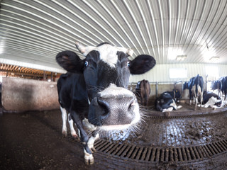 Close up of a black and white Holstein dairy cow putting its snout and nose near the camera as it stands in a cattle shed in rural Wisconsin.