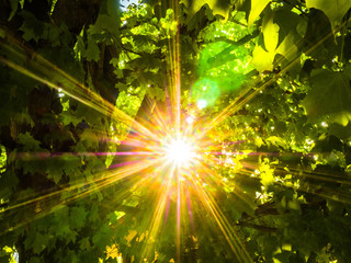 Beautiful nature background photograph looking up into a maple tree with the bright yellow and orange rays of the sun peaking through.