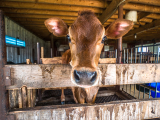 Cute baby brown Jersey calf or cow with wet black nose pokes its head over a wood pen at a farm in rural Wisconsin.