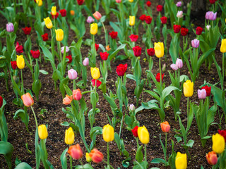 Beautiful photograph looking down at numerous multi-colored tulip flowers including yellow, red, orange and purple with green stems in a garden in downtown Chicago in spring.