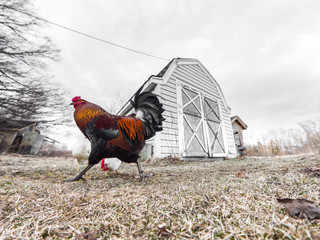 A photograph of a colorful male rooster walking in front of a small barn or chicken coop with a white hen seen eating corn between its legs with grass in the foreground and cloudy sky above.
