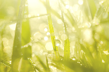 Blurred with the bokeh of dew on top of the grass, hello in the morning, green back ground