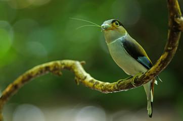 Silver-breasted Broadbill on tree branch