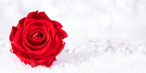 Rote Blüte von einer Rose im Schnee, glitzender Hintergrund mit Textfreiraum