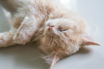 selective focus young cute male Persian cat face in sleep moment