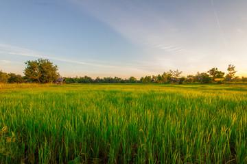 Fotobehang Platteland Green rice field at sunset time