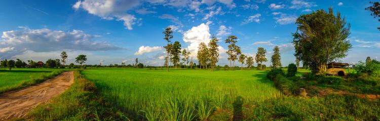 Panorama Green rice field at sunset