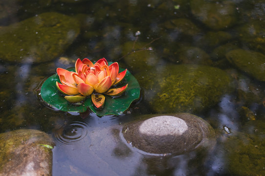 flower of a water lily in a swamp
