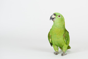 Photo sur Toile Perroquets Funny green parrot