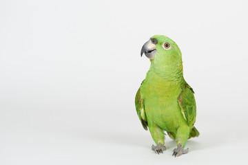 Photo sur Plexiglas Perroquets Funny green parrot