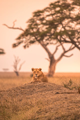Female African Lion (Panthera leo) on top of a hill in Tanzania's Savannah at sunset - Serengeti National Park, Safari in Tanzania