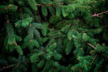 Christmas  Fir tree brunch textured Background. Fluffy pine tree brunch close up. Green spruce