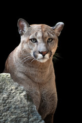 Photo sur Aluminium Puma Portrait of a cougar, mountain lion, puma