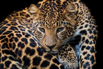 Wall Mural - Close up leopard portrait