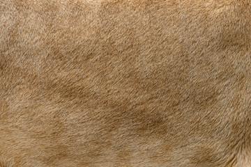 Wall Mural - Closeup real lion fur texture