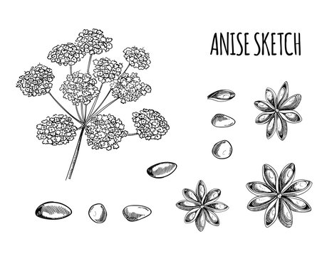 Vector Set of Anise Sketches: Aniseed and Flowers, Black Outline Drawing Isolated.