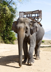 Elephant for riding