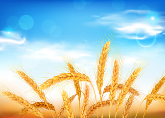 Golden wheat ears and blue sky. Vector illustration.
